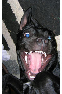 Flickr Photo Download: There's nothing quite like pulling a pit-bull's tongue out with your teeth