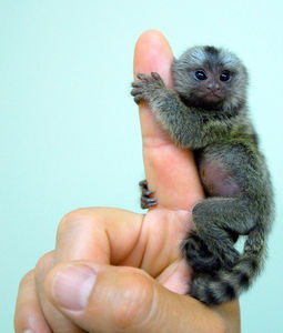 Flickr Photo Download: Baby marmoset