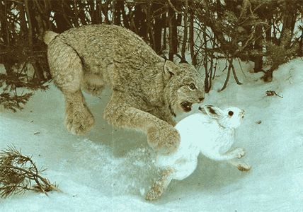 lynx_and_hare.png (PNG Image, 600x421 pixels)