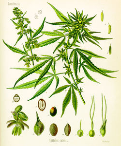 Cannabis_sativa_Koehler_drawing.jpg 1816×2177 pixels