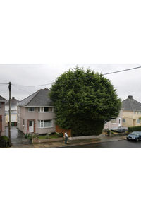 Giant leylandii in suburban front garden incense neighbours  UK news  The Guardian
