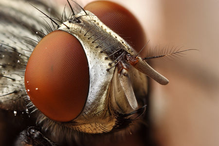 Flickr Photo Download: flesh fly close up