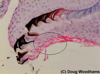 DW tadpole mouthparts section.jpg 405×303 pixels
