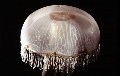 Flickr Photo Download: Life size 'moon jellyfish', or common jellyfish Aurelia aurita.