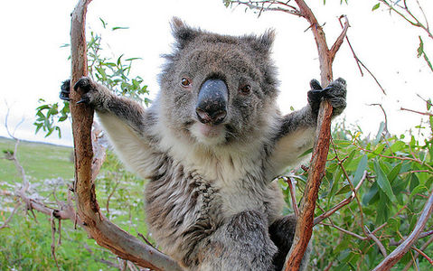 Koala on Flickr - Photo Sharing!