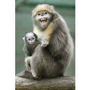 Ugly Overload: Snub-nosed Monkeys