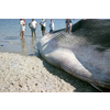 Flickr Photo Download: beached whale, 1960s
