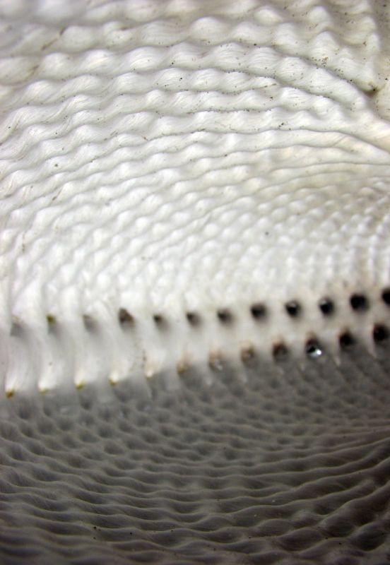 Flickr Photo Download: Inside Paper Nautilus Shell